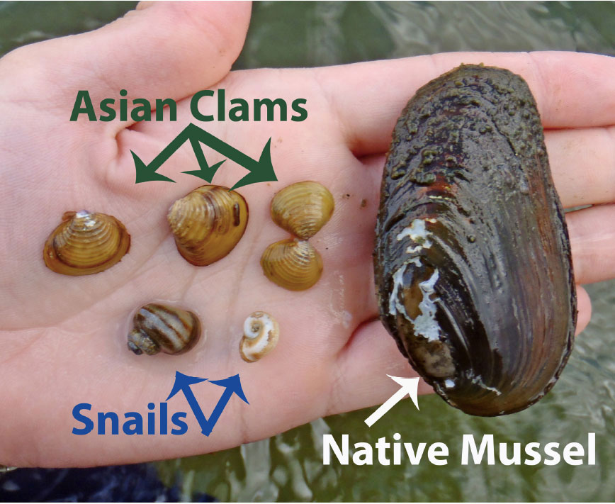 Asian Clams Snails Native Mussels Photo © Emily DeBolt LGA