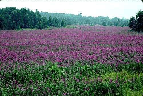 Purple Loosestrife, Photo © www.maine.gov