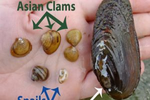 Asian Clam vs native1