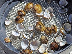 clam photo