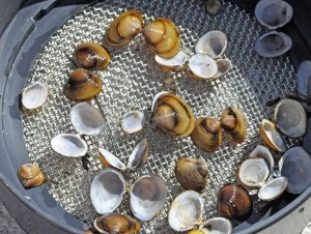 Asian Clam Survey